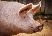 Român ucis de porc, în Italia. Fiul său de doar doi ani se află în stare critică după ce a fost atacat de același animal