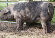 Cazul șocant al unei femei care a murit după ce a mers să dea de mâncare la porc. Animalul i-a mâncat o mână