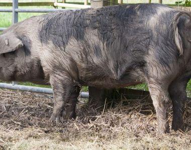 Cazul șocant al unei femei care a murit după ce a mers să dea de mâncare la porc....