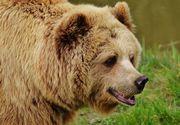 Femeie atacată de urs în judeţul Hunedoara