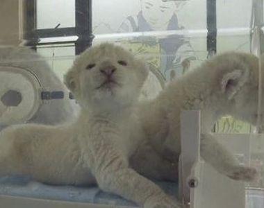 VIDEO   Leii albi ca zăpada, atracția unei gradini zoologice din China