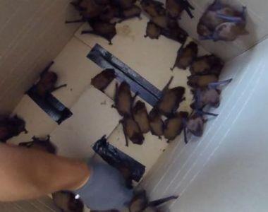 O colonie de lilieci, preluată dintr-un apartament din zona Pipera, din Capitală, şi...