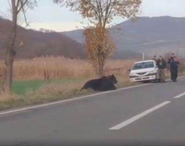Cazul ursului abandonat între Sovata şi Praid: Animalul a fost împuşcat. Poliţiştii au...