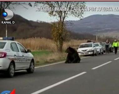 VIDEO | Ursul care a agonizat 18 ore pe șosea, chinuit după greșeli în lanț! Cum a...