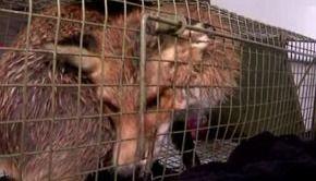 VIDEO | Vulpea hoinară din Capitală a fost capturată