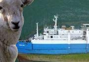 VIDEO | Noi imagini cutremurătoare cu oile de pe nava răsturnată. Multe au căzut în apă și plutesc printre cadavrele celor înecate