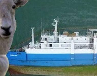 VIDEO | Noi imagini cutremurătoare cu oile de pe nava răsturnată. Multe au căzut în apă...