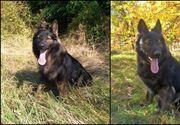 Tad, câinele polițist, erou într-o misiune în cazul dispariției unei femei din Neamț