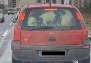 Imagini inedite surprinse în Timișoara: un vițel este transportat în portbagajul unei mașini