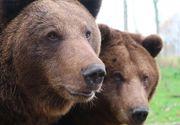 Situație revoltătoare în România. Al cincilea urs mort după ce a fost călcat de o mașină