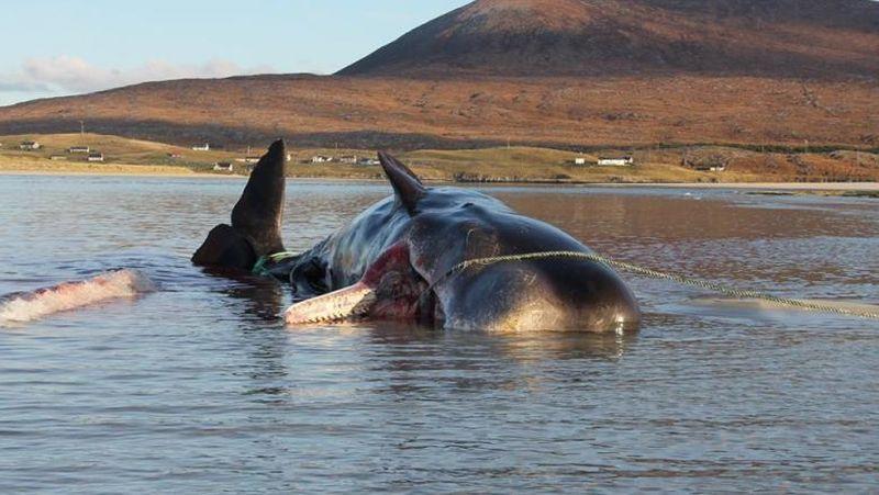 Balenă moartă găsită cu 100 de kilograme de deșeuri în stomac