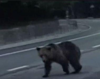 Miercurea Ciuc: Un urs a ajuns pe o pârtie de schi de la marginea orașului