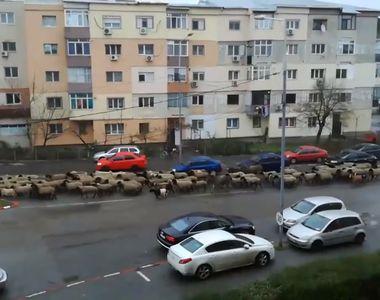 Imagini virale: Turma de oi s-a mutat în mijlocul orașului!