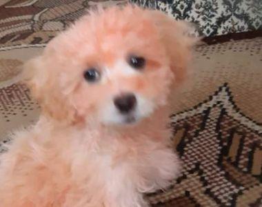 VIDEO | Câinii vopsiți, noua escrocherie. S-au decolorat la prima spălare