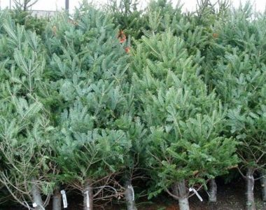 Bradul de Crăciun, cel mai căutat în piețe. Care sunt prețurile pomilor