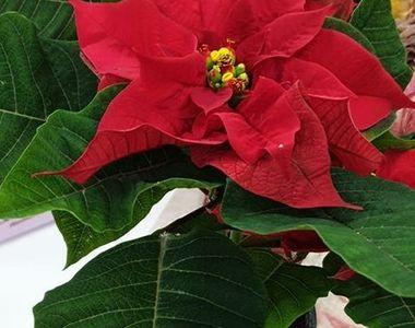 Legenda Crăciuniței (steaua de Crăciun). Vezi ce semnifică renumita floare