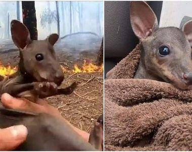 Gestul emoționant făcut de un pompier voluntar din Australia. A salvat un pui de cangur...