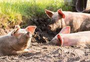 Prahova: 14 cazuri de pestă porcină africană, confirmate pe fonduri de vânătoare şi într-o gospodărie