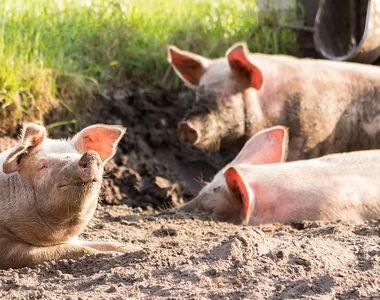 Prahova: 14 cazuri de pestă porcină africană, confirmate pe fonduri de vânătoare şi...