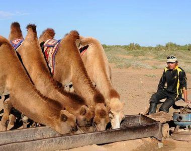 Dezastru în Australia. 10.000 de cămile vor fi împușcate pentru a le împiedica să bea apă