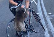Imagini pline de emoție cu un urs koala, victimă a incendiilor din Australia: S-a urcat pe bicicleta unei femei pentru a cere apă