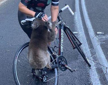 Imagini pline de emoție cu un urs koala, victimă a incendiilor din Australia: S-a urcat...