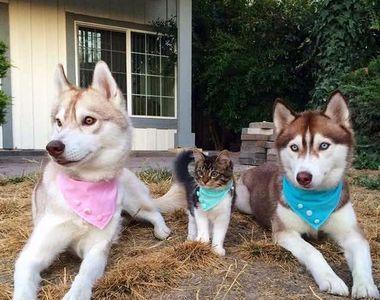 Imagini impresionante cu haita de câini Husky care salvează o pisică de doar trei...