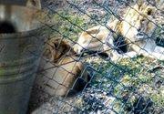 VIDEO | Imagini șocante cu lei și bizoni extrem de slăbiți la Grădina Zoologică din Reșița