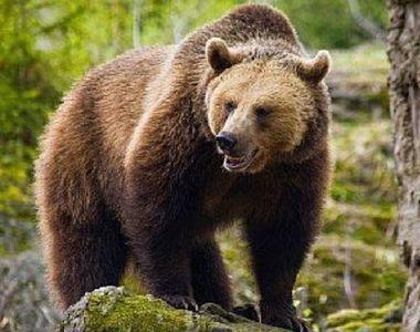 Harghita: Jandarmii au intervenit pentru îndepărtarea unui urs din municipiul Gheorgheni