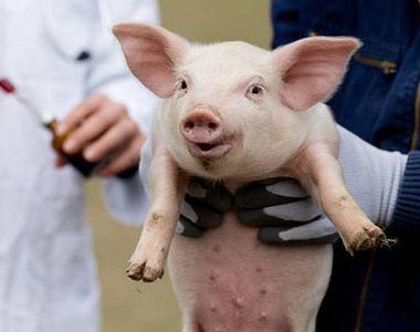 E oficial! Pesta porcină africană poate fi combătută! Cercetătorii au descoperit...