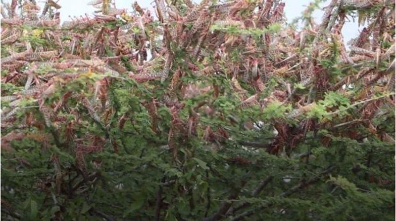 Invazie de lăcuste