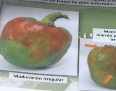 Piața legumelor amenințată de un virus periculos