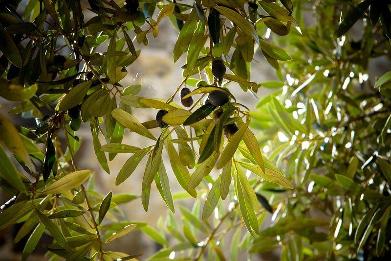 Măslinele verzi