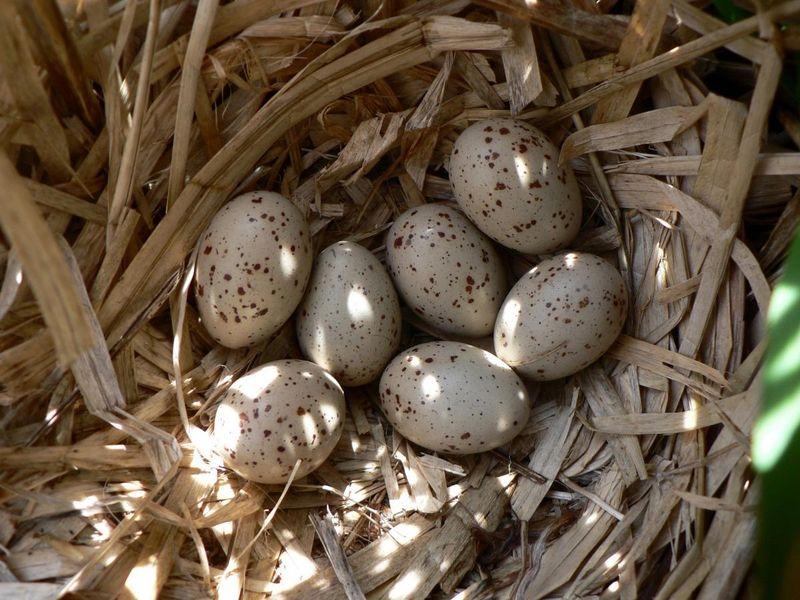 Oua de prepelita - Cura cu oua de prepelita - Tratament cu oua de prepelita