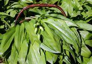 """Leurda, planta minune a primăverii. Ce beneficii neștiute are planta supranumită """"elixirul tinereții"""""""