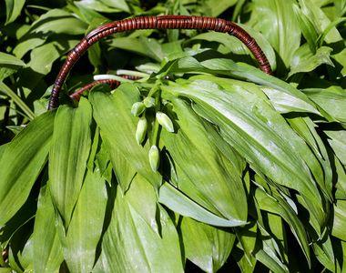 Leurda, planta minune a primăverii. Ce beneficii neștiute are planta supranumită...