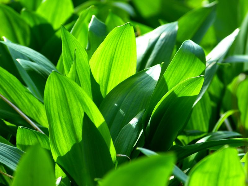 Leurda, planta minune a primăverii. Leurda Beneficii. Leurda elixirul tinereții. Leurda contraindicații