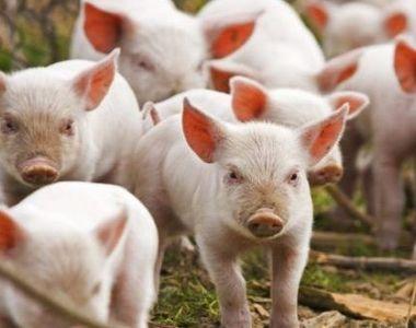 Focar de pestă porcină într-o fermă din Timiş. 56 de animale vor fi incinerate