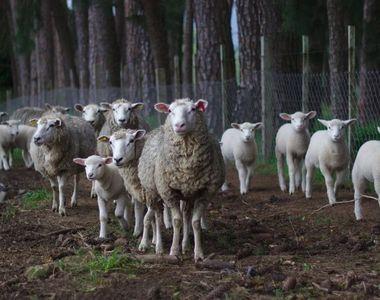 Ministrul Agriculturii spune că românii vor putea cumpăra miel de Paşte nu doar din...