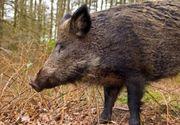 Focar de pestă porcină depistat în Timiş, după ce cadavrele a trei porci mistreţi au fost găsite la marginea unei păduri