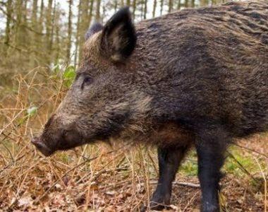 Focar de pestă porcină depistat în Timiş, după ce cadavrele a trei porci mistreţi au...