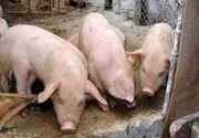 Nou focar de pestă porcină africană în judeţul Timiş