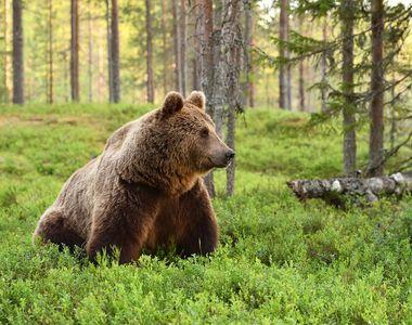 Urşi filmaţi azi noapte, în Azuga - VIDEO