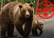 VIDEO| Invazie de urși în stațiunile montane