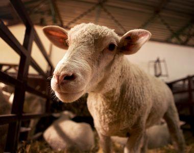 """El este mielul care a speriat o lume întreagă: """"Îi dădeam lapte pe o gură și ieșea pe..."""