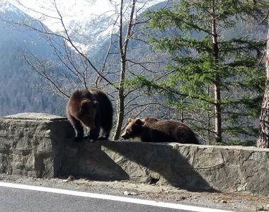 Alertă pentru românii de la munte. Zeci de urși prezenți în cele mai aglomerate stațiuni