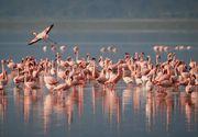Apariție inedită în România. 10 flamingo au încântat privirile trecătorilor
