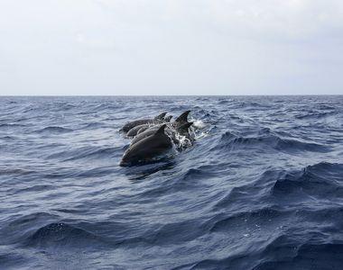 Imagini inedite la Marea Neagră. Delfinii prietenoși au înotat alături de oameni