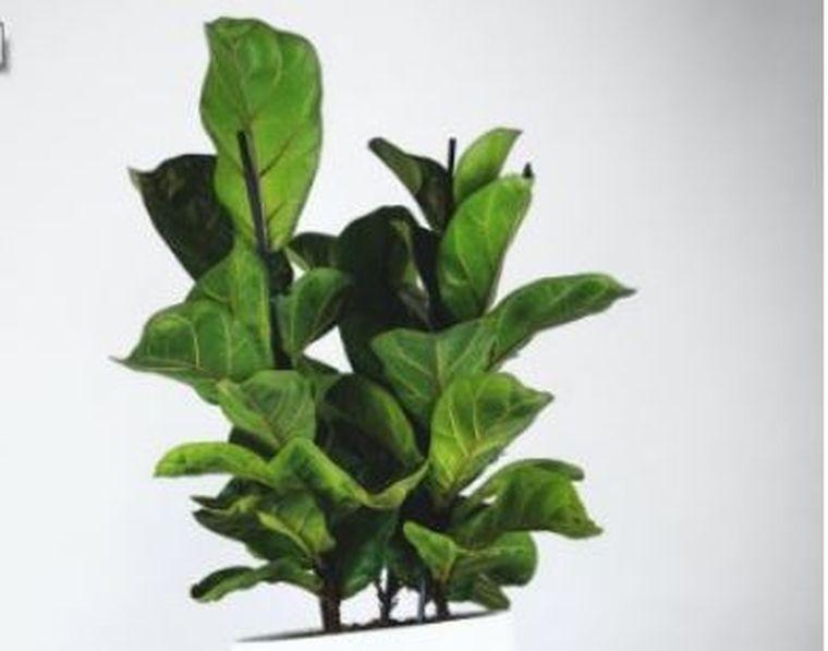 Totul despre ficus – sfaturi pentru un arbore sănătos şi aspectuos!