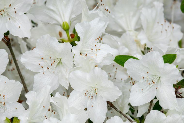 Azalea – cum întreții o floare pretențioasă!